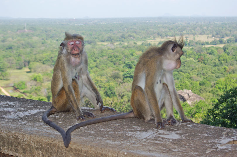 Sri Lankan monkeys at Sigiriya