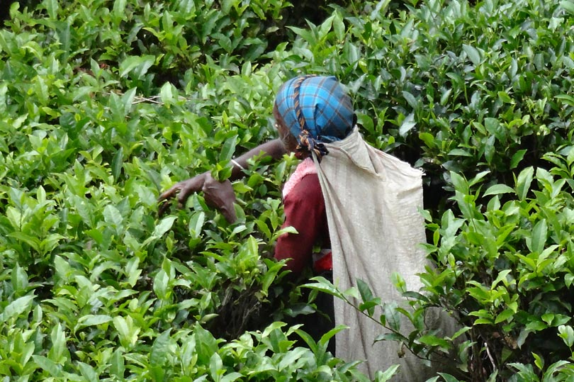 Sri Lankan tea picker, Nuwara Eliya