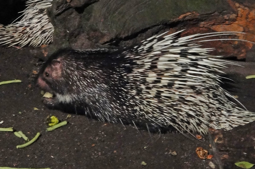 Porcupine at the Night Zoo in Singapore - a Singapore must-do