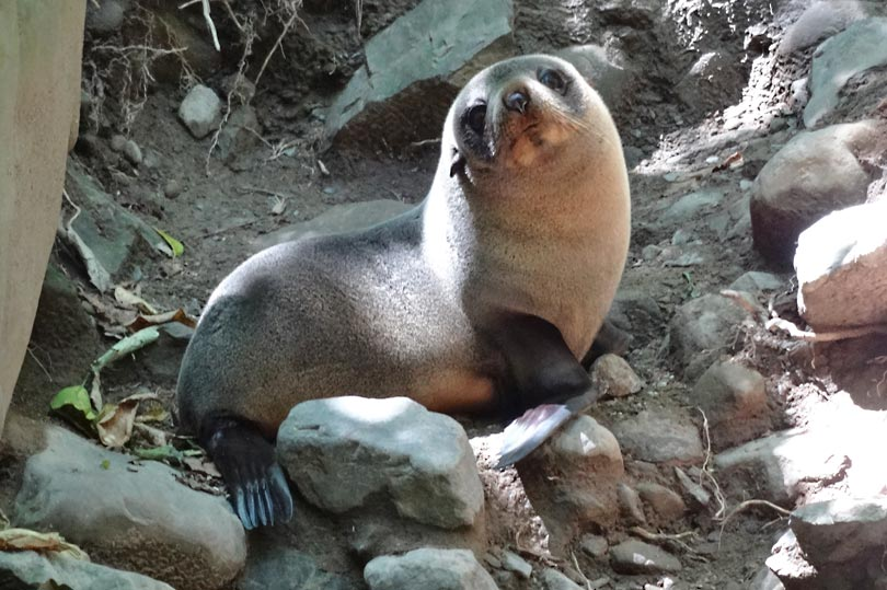 Adorable seal pup at Ohau Point, New Zealand