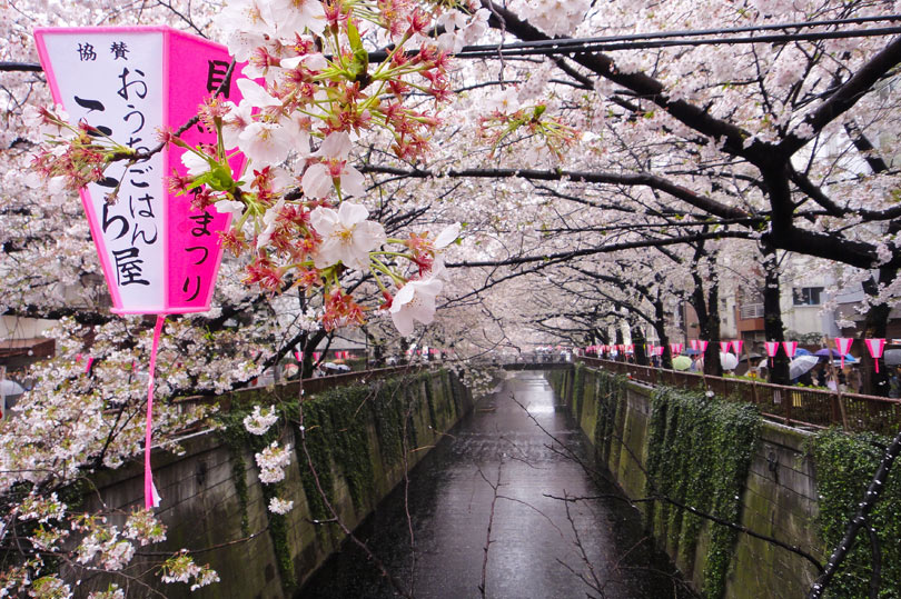 Cherry blossoms at the canal in Naka Meguro in Tokyo, Japan - Photo by QuirkyLittlePlanet.com