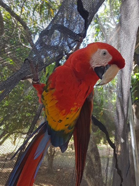 A scarlet macaw in Costa Rica